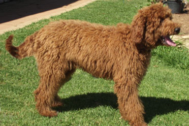 red poodle cherry